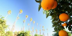 an image of California featuring palm trees and oranges